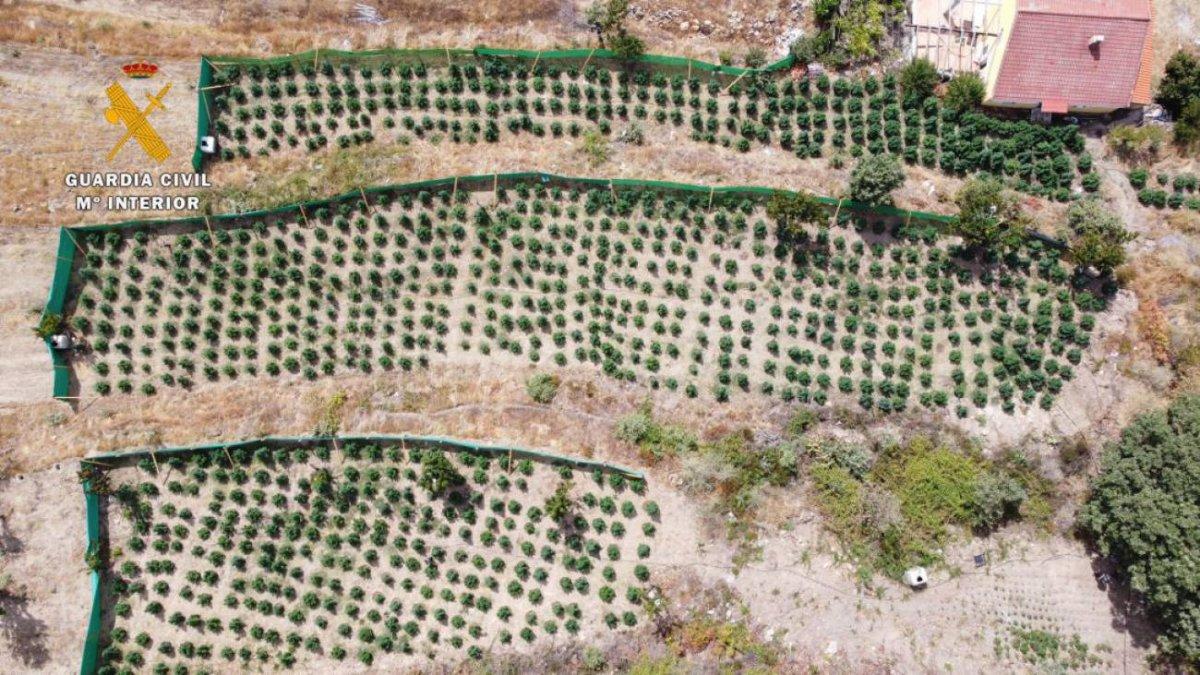 Detenido un ciudadano de origen albanés por cultivar 1.200 plantas de marihuana en Jarandilla