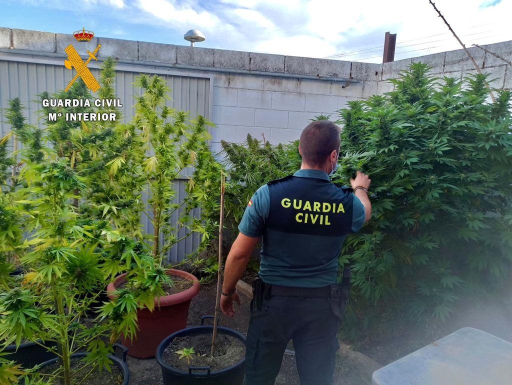 Localizan plantas de marihuana de gran tamaño cultivadas en el patio de una casa de Plasenzuela