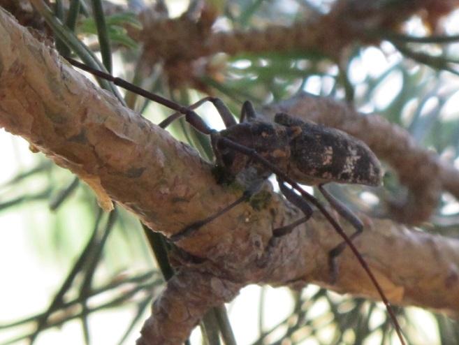 La Junta adopta medidas de emergencias para frenar el nematodo del pino en el Valle del Ambroz
