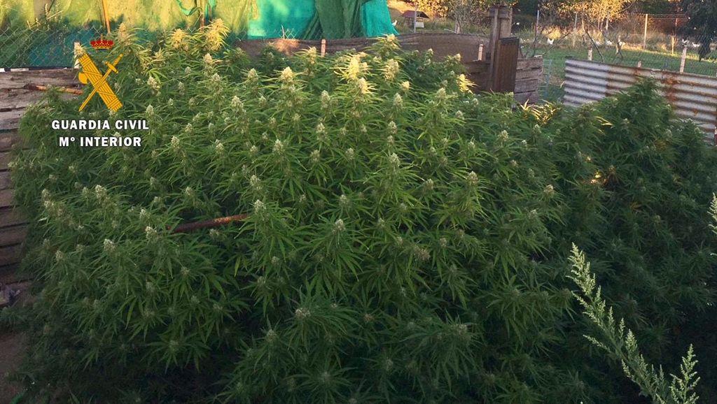 Investigan a un vecino de 55 años de Casatejada por cultivar marihuana en una parcela