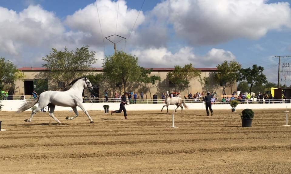 Más de 60 ejemplares de 34 ganaderías estarán presentes en el Salón del Caballo de Torrejoncillo