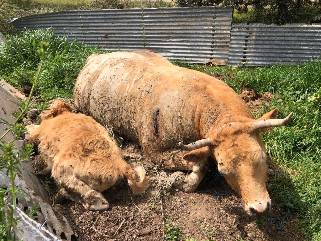 """El segundo caso de """"vacas locas"""" de este año en España vuelve a detectarse en Extremadura"""