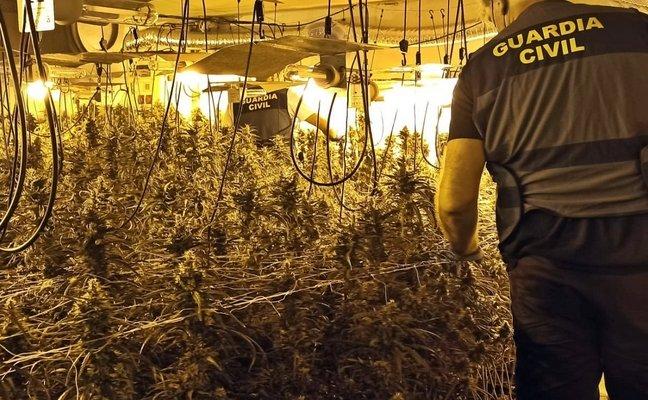 Detenidos por cultivar 823 plantas de marihuana ocultas en una casa y una nave de Orellana